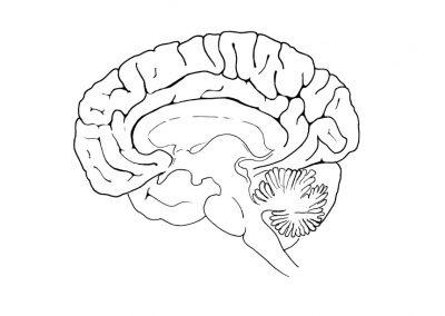 basistekening-hersenen-doorsnede