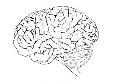 basistekening-hersenen-zijaanzicht-aangepast