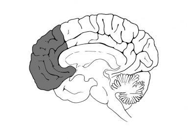 hersenen-doorsnede-prefrontale-cortex-aangepast