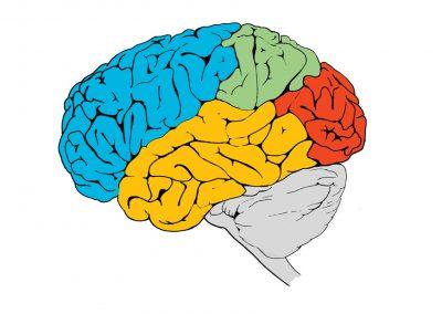 hersengebieden-zijaanzicht